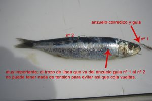 Montaje cebo fresco sardina y calamar para currican